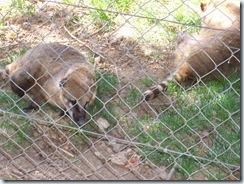 2010.09.04-017 coatis