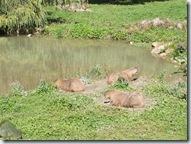 2010.09.04-025 capybaras