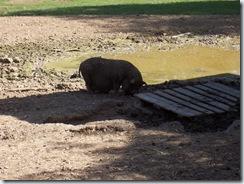 2010.09.04-027 cochon du Viet-Nam