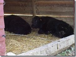 2010.09.04-031 yacks