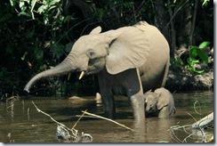 Éléphant de forêt d'Afrique
