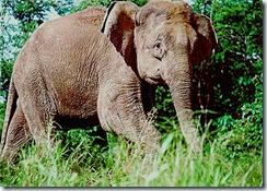 Éléphant pygmée de Bornéo