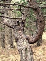 Markacija na zanimivem drevesu ob poti