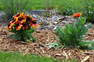 The minnesota garden blanket flower i decided to plant some blanket flowers or gaillardia in my large perennial bed i needed some short plants on the edge of a border section mightylinksfo