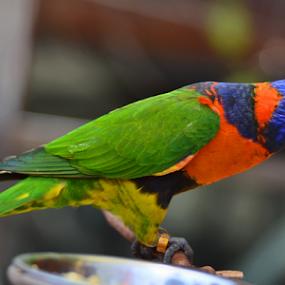 Colourfull by Kamila Romanowska - Animals Birds ( bird, colourful, nature, parrot, australia, rainbow, lorikeet )