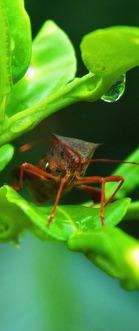 kumbang busuk