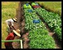 tanaman-sayur