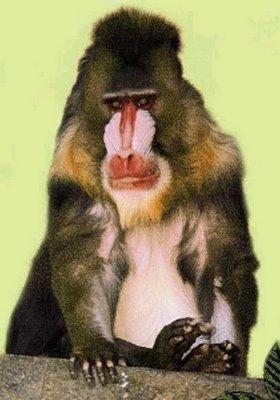 Mona Guenon monkey 01