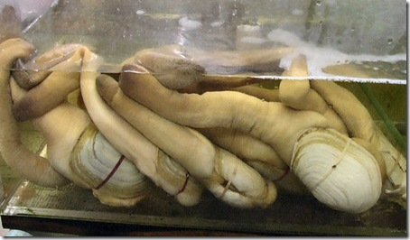 7 Animals With the Longest Life Spans - Geoduck