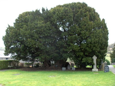 Llangernyw Yew 03