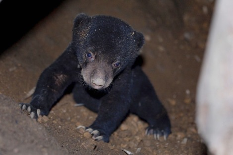 Little Sun Bear in Singapore1