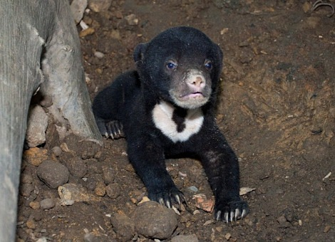 Little Sun Bear in Singapore3