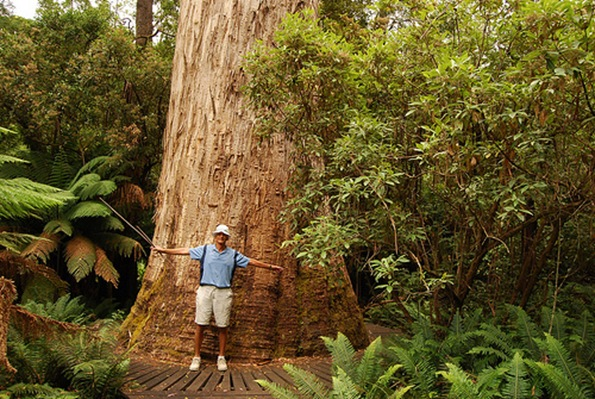 Giant Eucalyptus Trees of Tasmania