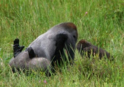 gorillas-mating-picture