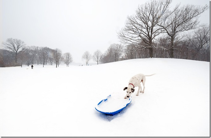 dalmation-and-blue-sled1