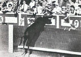 Toro manso saltando barrera 001_thumb[2]