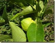 1st lemon ripening_1_1