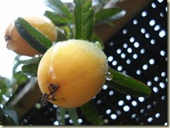 passion fruit in rain_1_1_1