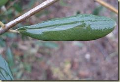olive leaf in rain1_1_1