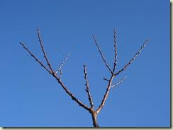 abricotier   blue sky_1_1
