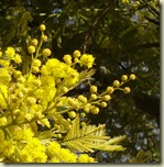 mimosa 2_1