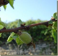 apricots1_1_2_1