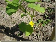 cucumber flower_1_1