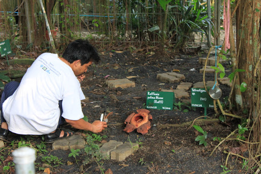 Rafflesia Arnoldii Bogor Botanical Garden