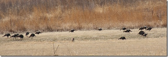 Turkeys 3-22-09 003