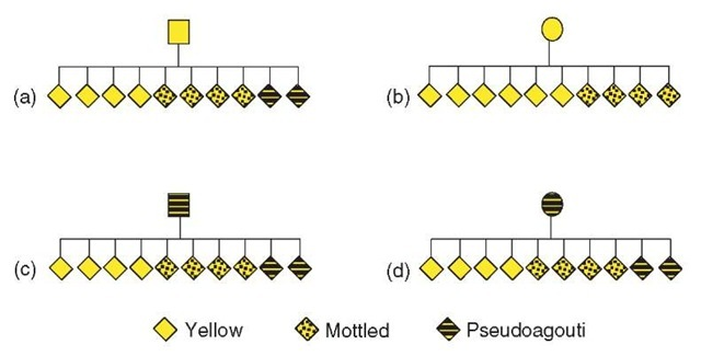 Schematic pedigrees of coat color inheritance at the Avy allele. Mice heterozygous for the Avy allele mated with congenic animals, carrying a null agouti allele. Only offspring carrying the allele are displayed. Comparing (a) and (b), there are more yellow mice observed following female transmission of the allele from a yellow parent. This is a subtle parent-of-origin effect, which shifts the proportion of each phenotype of offspring. Comparing (b) and (d), the yellow female produces more yellow offspring than the pseudoagouti female, so the range of phenotypes of the offspring is influenced by the phenotype of the dam. This is transgenerational epigenetic inheritance