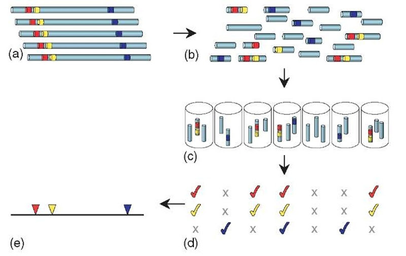 HAPPY mapping. Genomic DNA (a; colored segments represent STS markers) is broken into random fragments (b), which are greatly diluted and dispensed into a series of samples (c). Each sample is tested by PCR to determine the markers it contains (d). Closely linked markers (red and yellow) will tend to occur together (cosegregate) amongst the samples. By analyzing the cosegregation of many such markers, their order and spacing along the chromosome can be calculated to produce a map (e). The process of radiation hybrid mapping is similar, except that the DNA fragments are propagated in hybrid cells rather than as in vitro samples