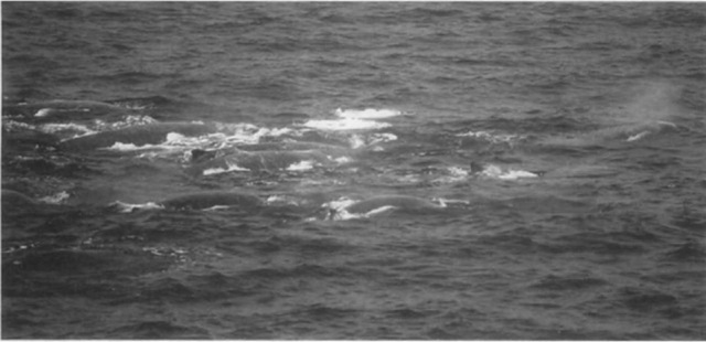 A school of Baird beaked whales off Boso coasts. Japan.