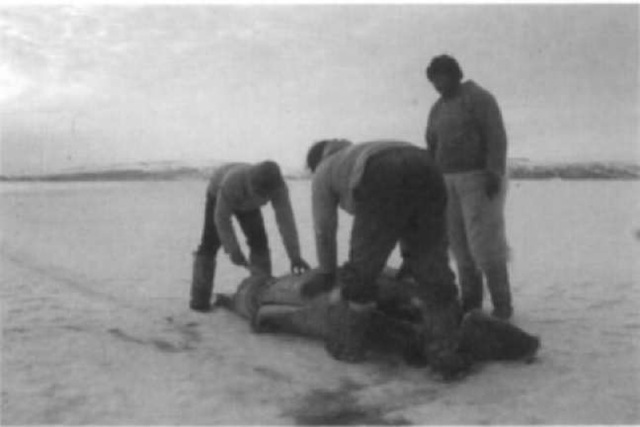 Greenlanders butchering a bearded seal in Wol-stenholme Fjord in June 1988. Bearded seals are especially prized by native people of the circumpolar north because of their tasty meat and tough, flexible hide. The hide is used to make leather lines, boat and tent covers, boot soles, and various other items.