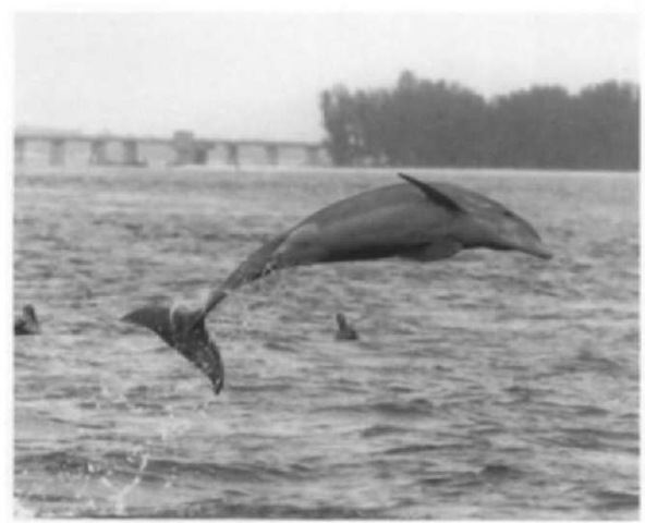 Ventral view of a common bottlenose dolphin.