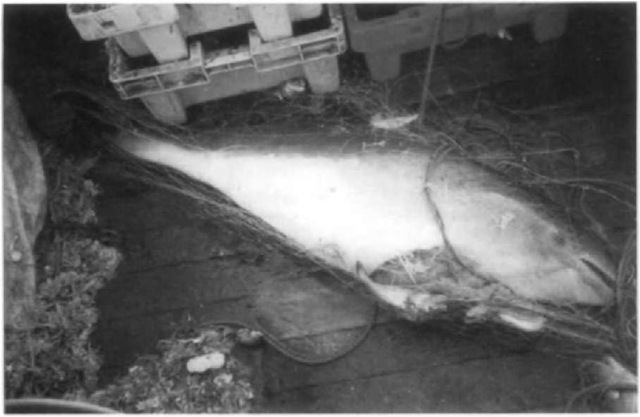 A harbor porpoise entangled in a cod gillnet in the North Sea, one of several thousand dying this way every year in European gillnet fisheries.