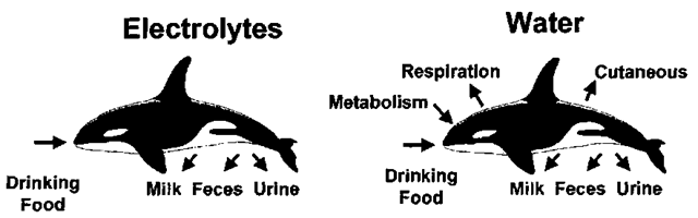 Schematic of ways by which water and electrolytes enter and leave a marine mammal. Excretion of electrolyte and water as milk occurs only when females are lactating.