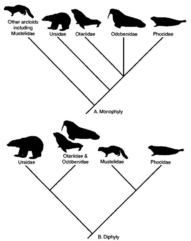 Alternative hypotheses for relationships among pinnipeds. (A) Monophyly with ursids as the closest pinniped relatives. (B) Diphyly in which phocids and mustelids are united as sister taxa as are otariids, odobenids, and ursids.