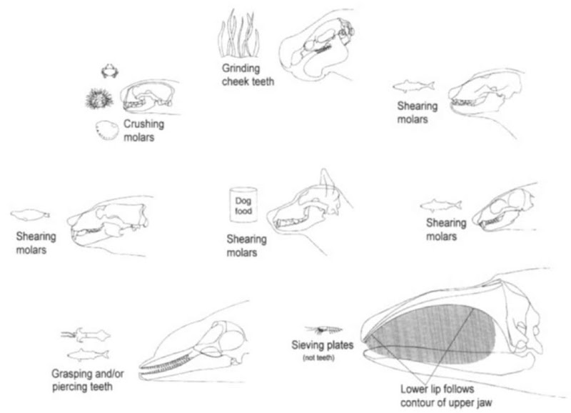 Whale skull anatomy