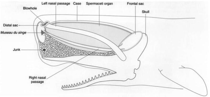 Sperm Whale Marine Mammals