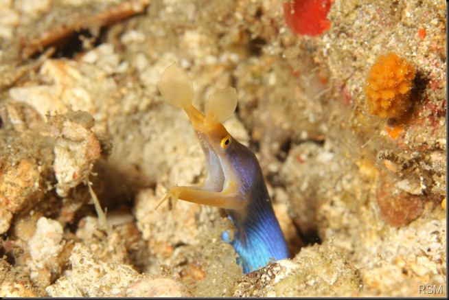 Male Blue ribbon eel c