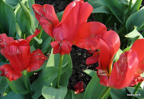 Серая гниль тюльпана