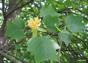 Лиродендрон или тюльпанное дерево