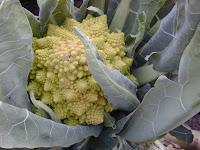 Romanesco Broccoli.JPG