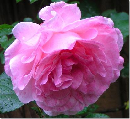 My rose bloom 2