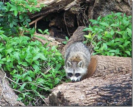 4.5.06 Raccoons 011c