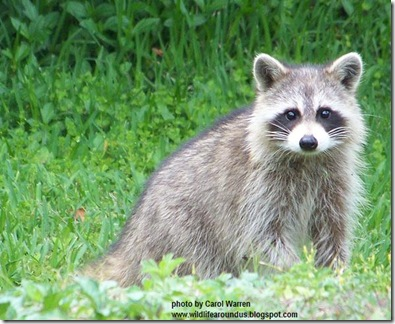 4.5.06 Raccoons 003cs