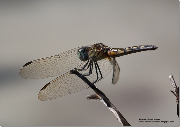 female Blue Dasher 043cs