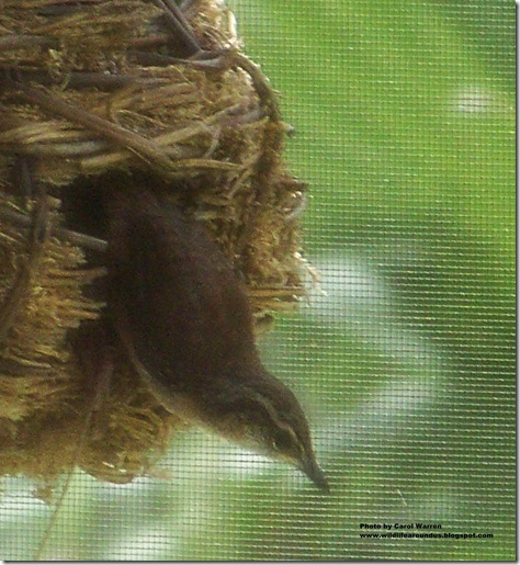baby wrens fledging 047cs