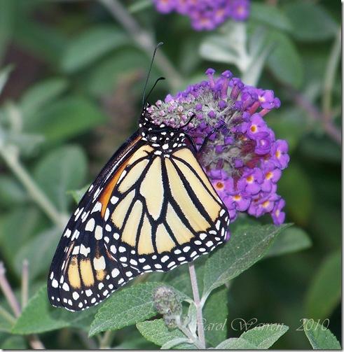 10.22.10 Butterfly #3 022cs