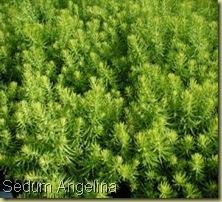 SE10578 Sedum reflexum Angelina 2,5 h20 giu-lugl